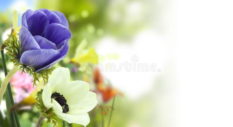 蓝色和白色银莲花属和defocused色的花在春天庭院里 免版税库存照片