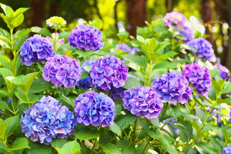 蓝色和紫罗兰色八仙花属花 库存照片