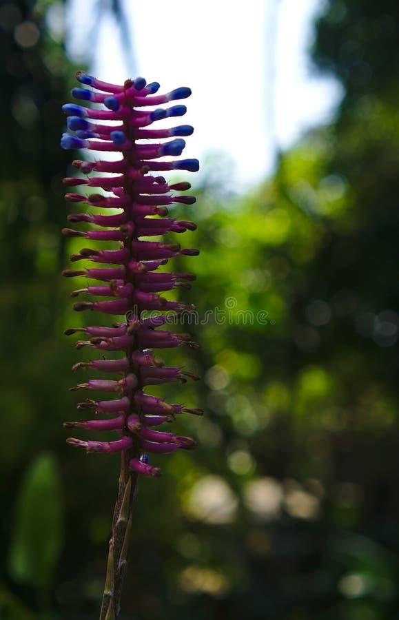 蓝色和紫色颜色的洗瓶刷植物 库存照片