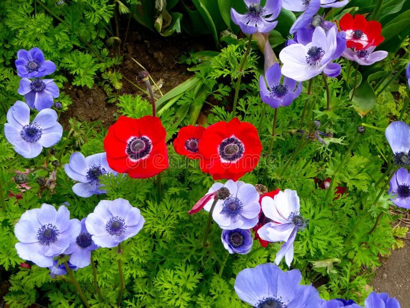 蓝色和红色银莲花属的领域开花开花 免版税库存图片
