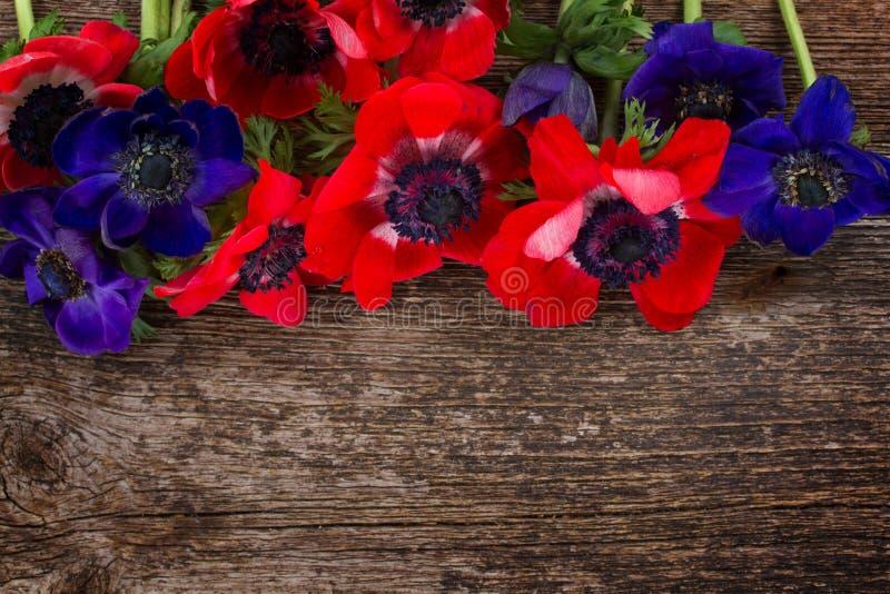 蓝色和红色银莲花属花 库存照片