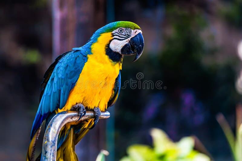 蓝色和金子或者黄色金刚鹦鹉鹦鹉 免版税库存照片