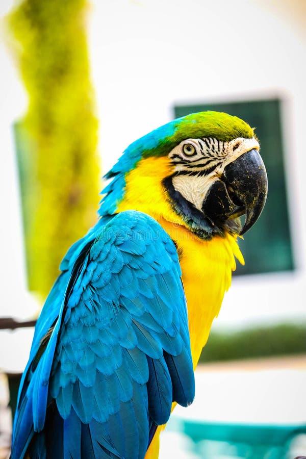 蓝色和金子金刚鹦鹉 库存图片