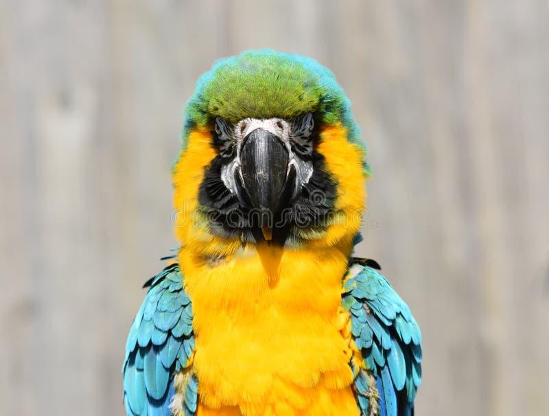 蓝色和金/黄色金刚鹦鹉鹦鹉关闭 免版税库存图片