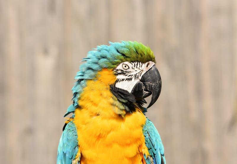 蓝色和金/黄色金刚鹦鹉鹦鹉关闭 库存图片