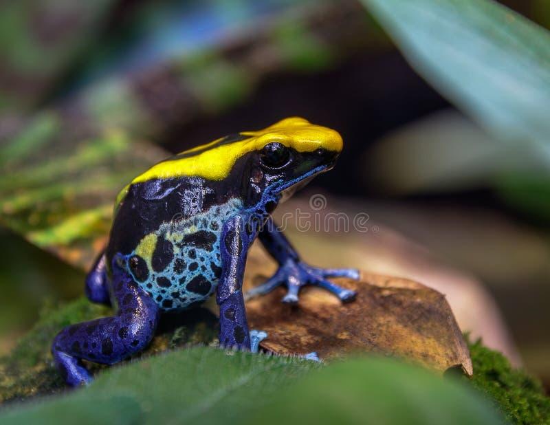 蓝色和黄色巴西毒物箭雨蛙dendrobates tinctorius 免版税库存图片