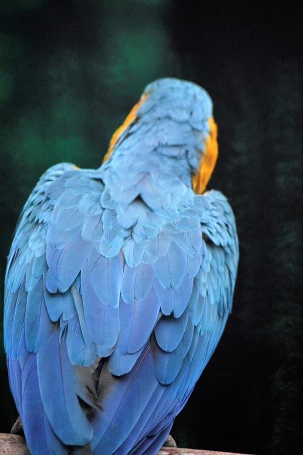 蓝色和黄色金刚鹦鹉 库存照片