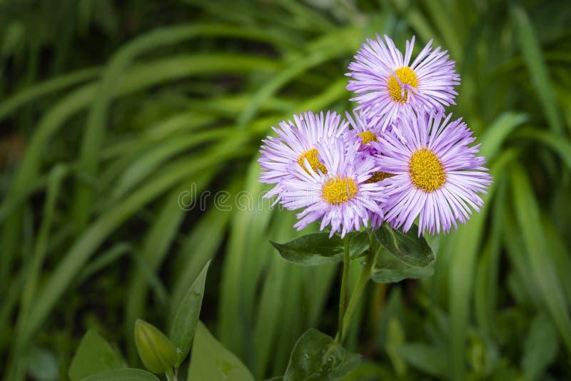 蓝色和黄色雏菊花 库存图片
