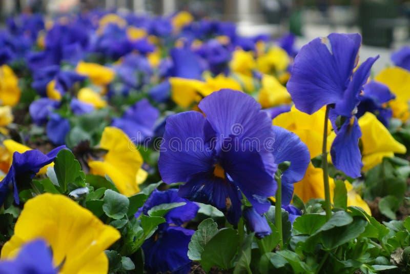 蓝色和黄色蝴蝶花 库存图片