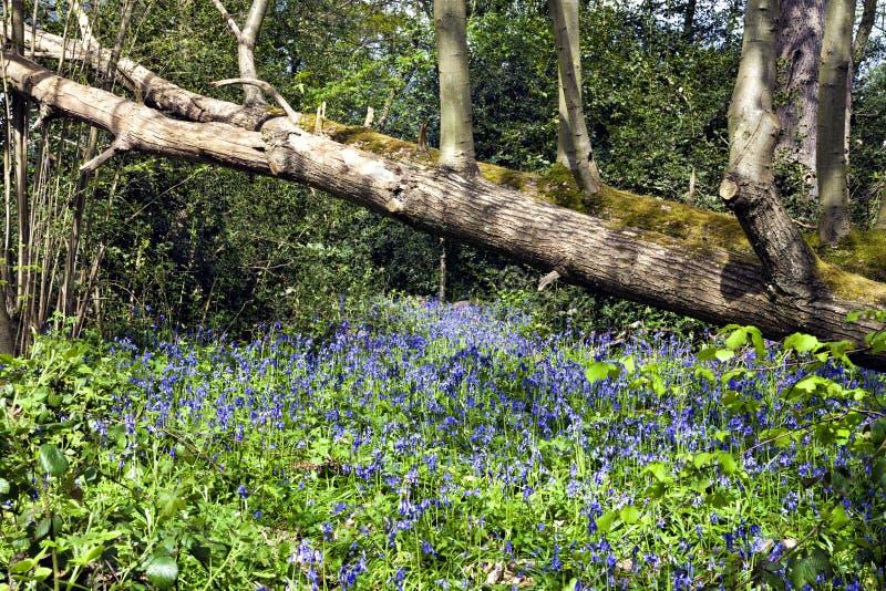 蓝色响铃在树下在一个晴朗的春日登录一个森林 免版税库存照片
