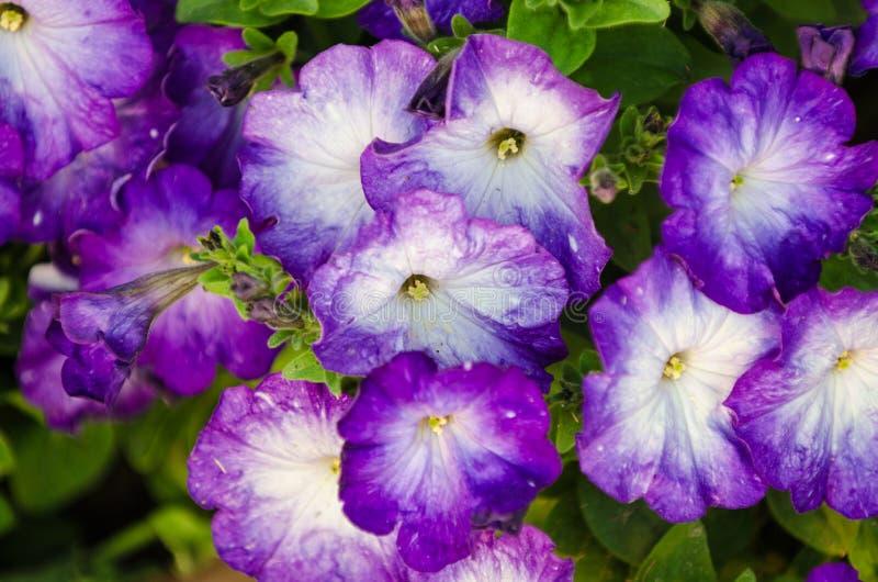 蓝色喇叭花在庭院里 库存图片