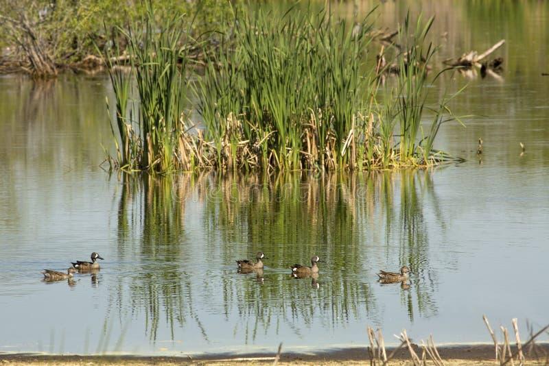 蓝色在乔治亚飞过了漂浮在一个池塘的小野鸭 免版税库存图片