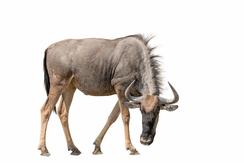 蓝色在白色背景隔绝的角马有斑牛羚 免版税库存照片