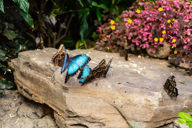 蓝色在蒙特利尔植物园飞过蝴蝶 库存图片