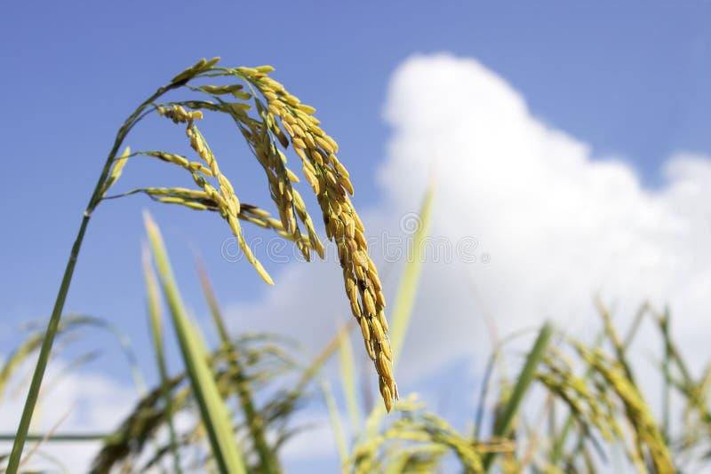 蓝色域朝向成熟panicles米成熟开始种子副的天空启用视图 当他们成熟并且成熟,题头启动启用 与蓝天的侧视图 免版税库存照片