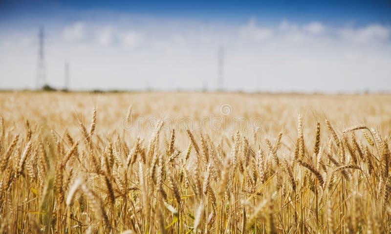 蓝色域金黄天空麦子 库存图片