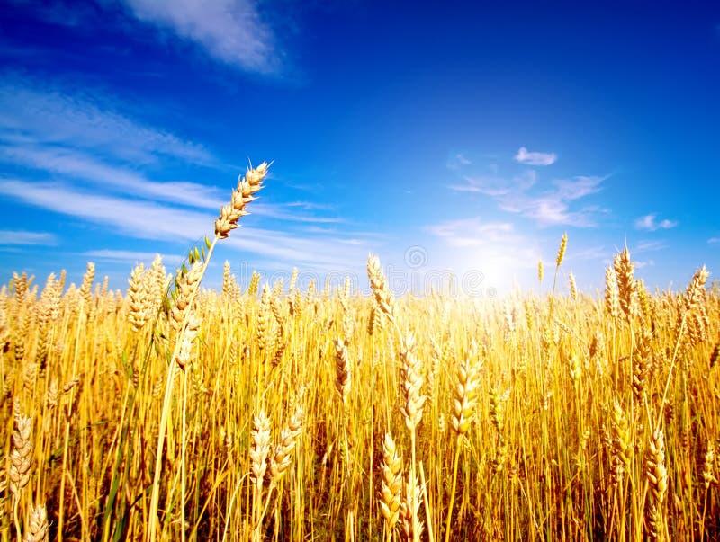 蓝色域金黄天空麦子 免版税库存照片