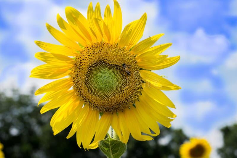 蓝色多云在天空向日葵 免版税库存图片
