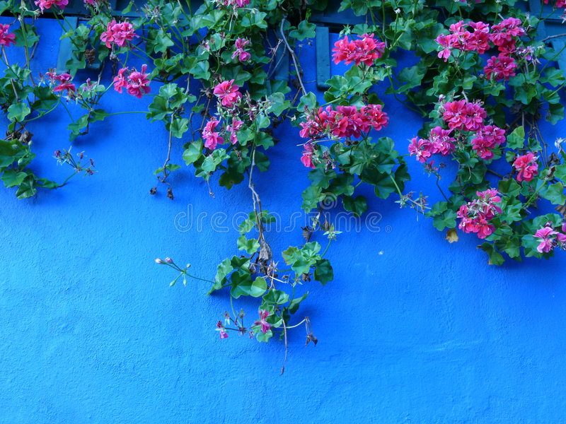 Download 蓝色大竺葵红色墙壁 库存图片. 图片 包括有 五颜六色, 平静, 庭院, 墙壁, 红色, 绽放, 停止, 春天 - 3672869