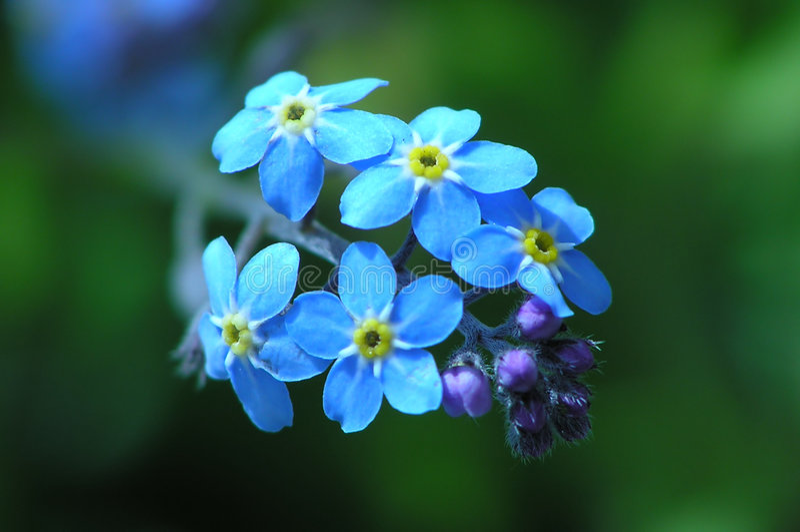 Download 蓝色奇迹 库存图片. 图片 包括有 夏天, 农村, 关闭, 室外, 忘记, 公园, 蓝色, 本质, 奇迹, 花卉 - 177313