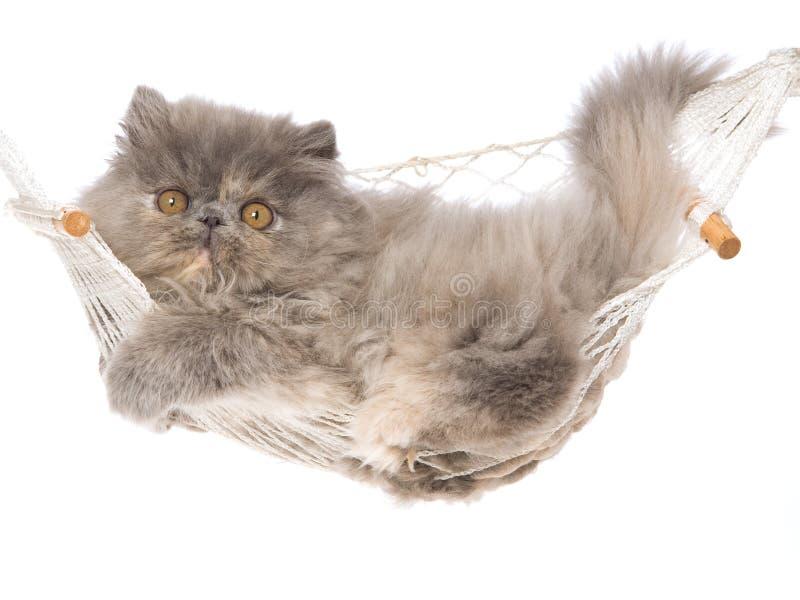 蓝色奶油色吊床小猫波斯人tortie 库存图片