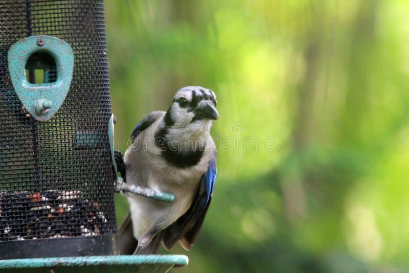 蓝色尖嘴鸟在机敏看的饲养者栖息  免版税库存图片