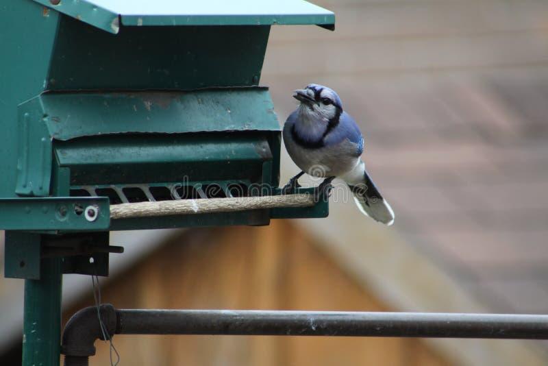 蓝色尖嘴鸟在饲养者的Cyanocitta cristata 库存照片