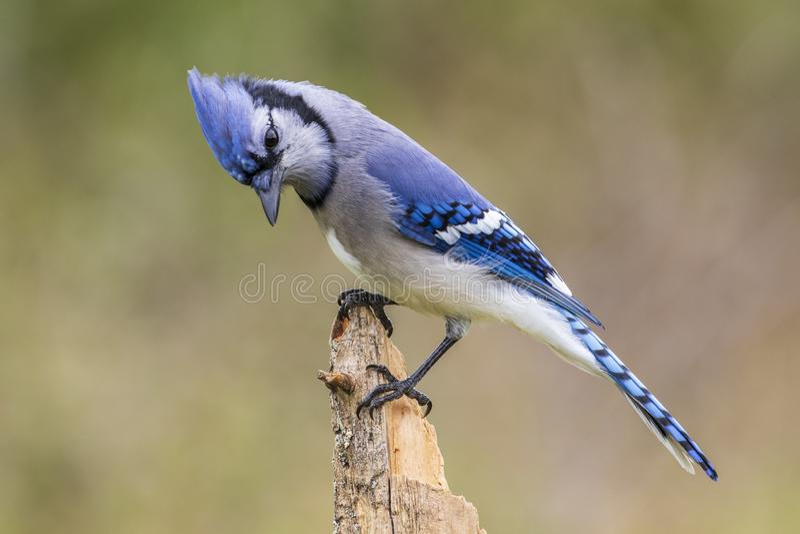 蓝色尖嘴鸟,渥太华,加拿大 免版税库存图片