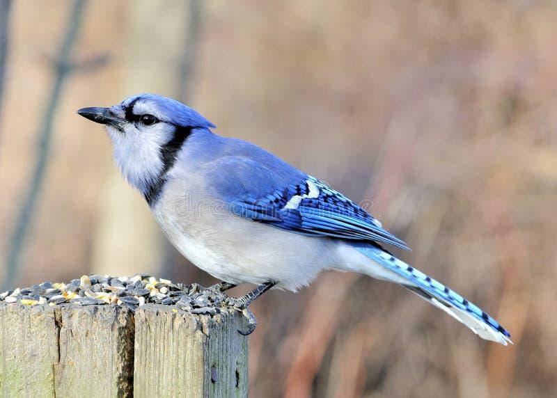 美国男人的鸟_蓝色尖嘴鸟.