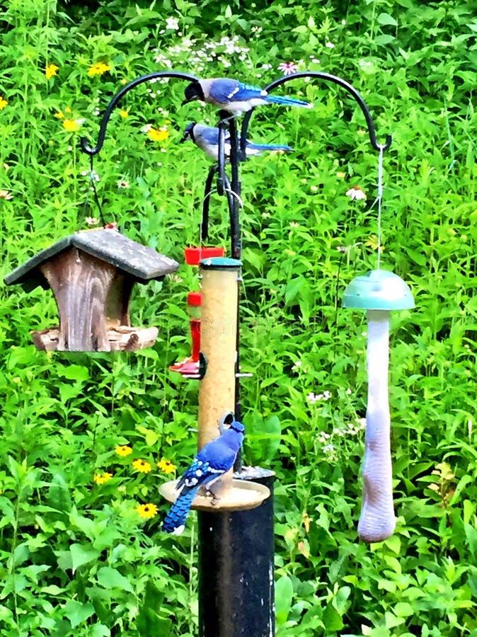 蓝色尖嘴鸟社会汇聚 库存图片