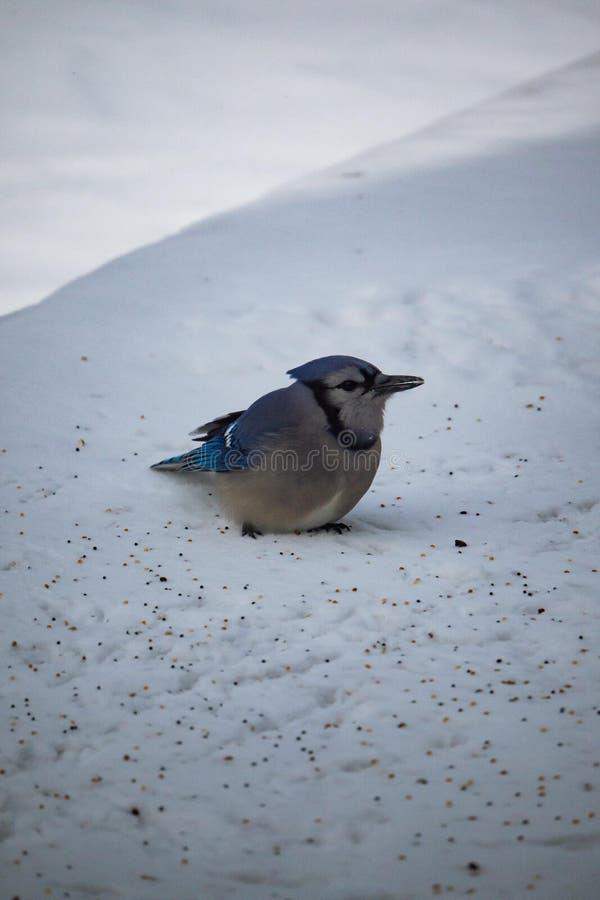 蓝色尖嘴鸟雪 免版税库存图片