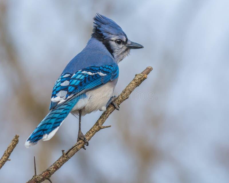 蓝色尖嘴鸟 库存照片