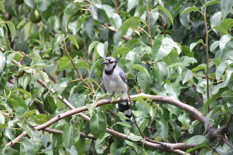 蓝色尖嘴鸟(Cyanocitta cristata)在树枝 库存图片