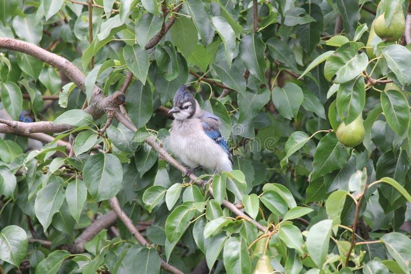 蓝色尖嘴鸟(Cyanocitta cristata)在树枝 免版税库存图片
