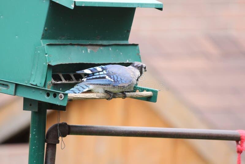 蓝色尖嘴鸟(Cyanocitta cristata)在饲养者 免版税库存照片
