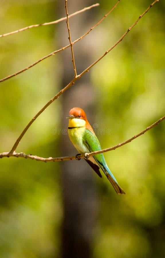 蓝色尾巴食蜂鸟在巴厘岛国家公园 免版税库存图片