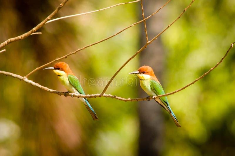 蓝色尾巴食蜂鸟在巴厘岛国家公园 免版税库存照片