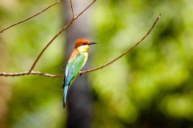 蓝色尾巴食蜂鸟在巴厘岛国家公园 库存图片