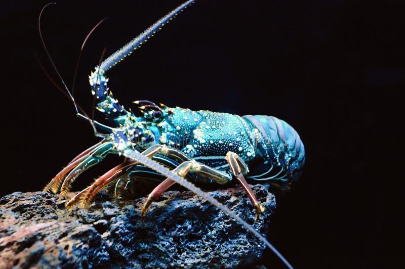 蓝色巨型龙虾海运 免版税库存图片
