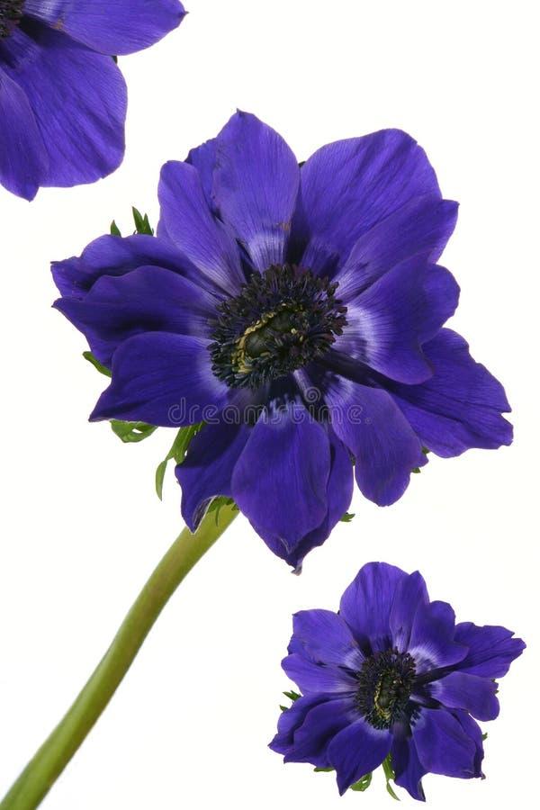 蓝色异乎寻常的花鸦片 库存照片