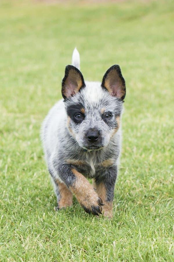 蓝色愈疗者小狗的垂直的图片 免版税库存照片