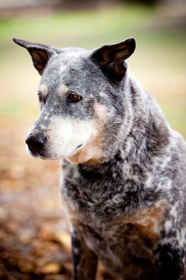 蓝色愈疗者狗在公园 图库摄影