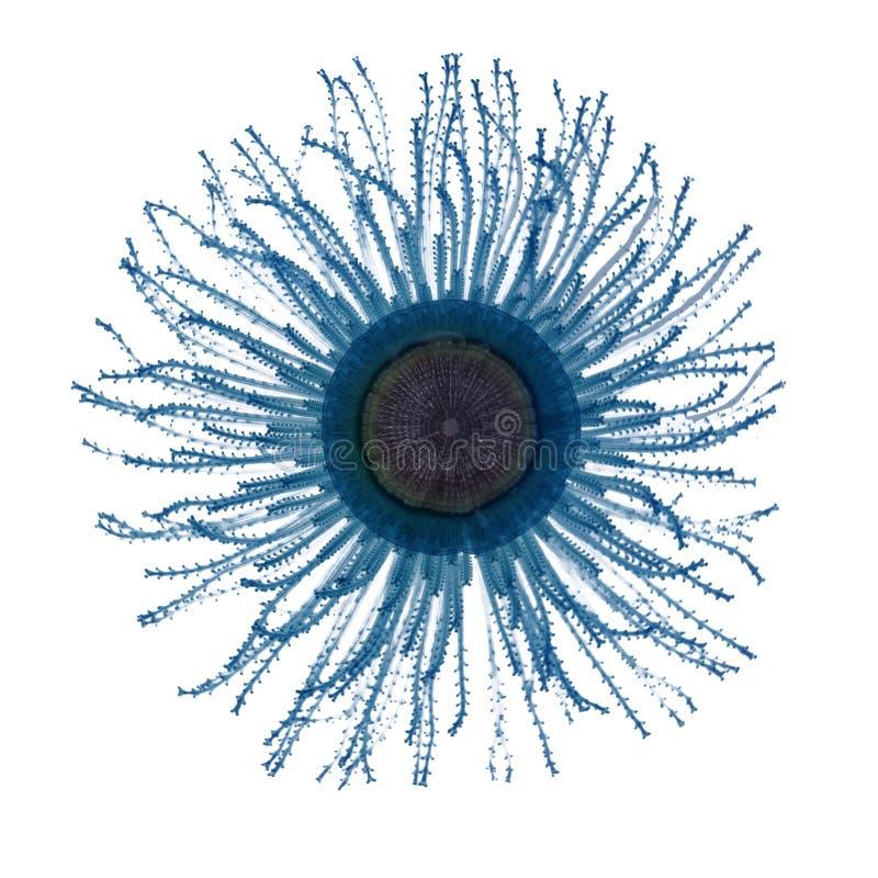 蓝色按钮水母Porpita porpita 隔绝在白色backg 库存照片