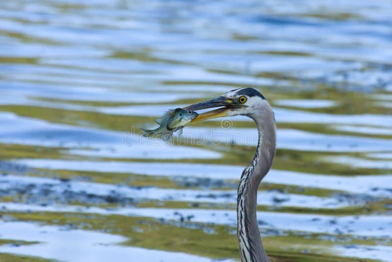 蓝色捕鱼极大的苍鹭 库存照片