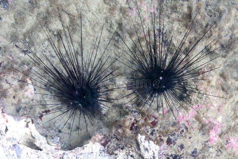 蓝色斑点海胆在海洋 库存照片