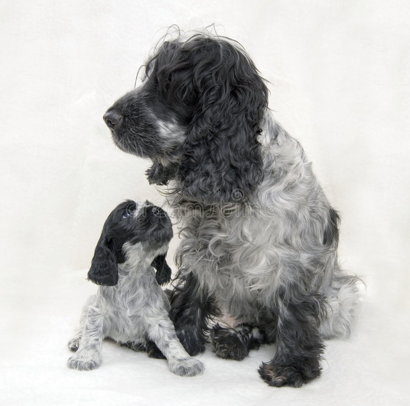 蓝色斗鸡家母亲小狗软羊皮西班牙猎狗 库存图片