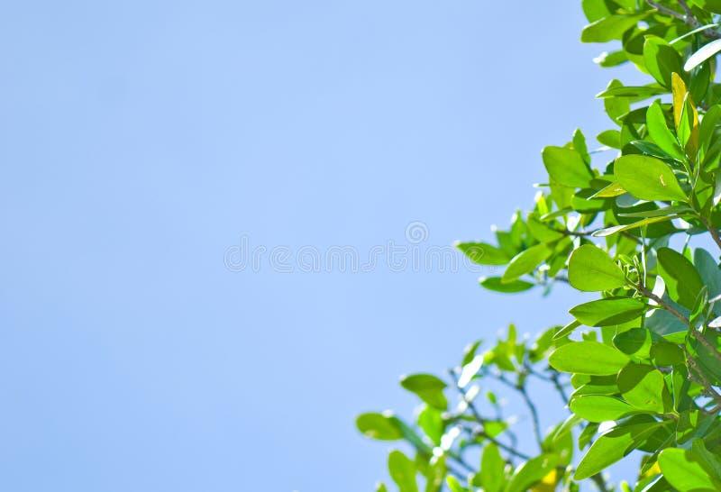 蓝色新鲜的绿色叶子天空 库存照片