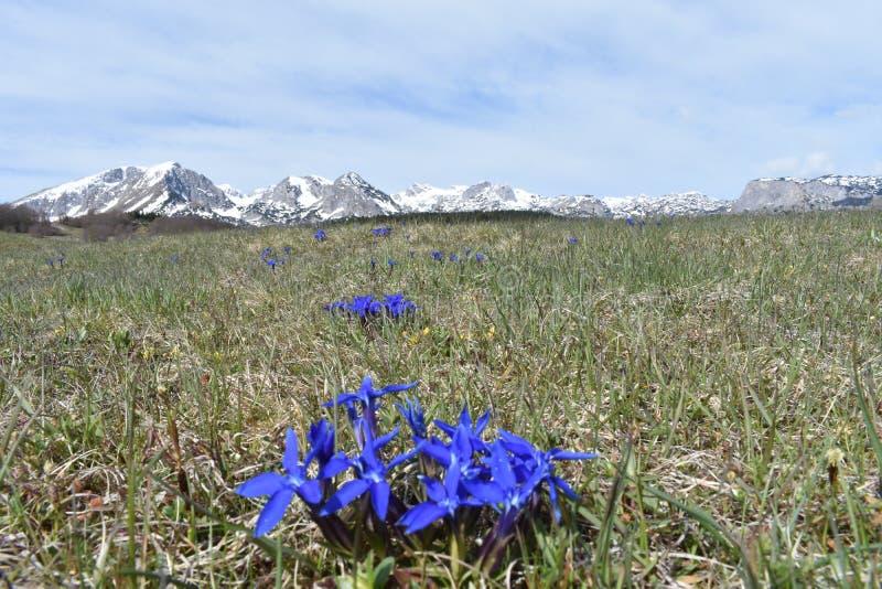蓝色春天花和杜米托尔国家公园山在背景中 库存照片