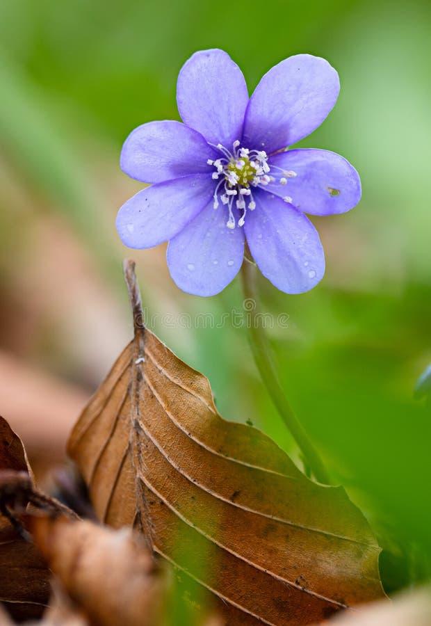 蓝色春天野花, Hepatica nobilis 免版税库存图片