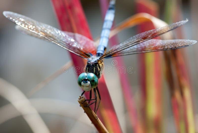 蓝色机体蜻蜓被注视的绿色 免版税库存图片